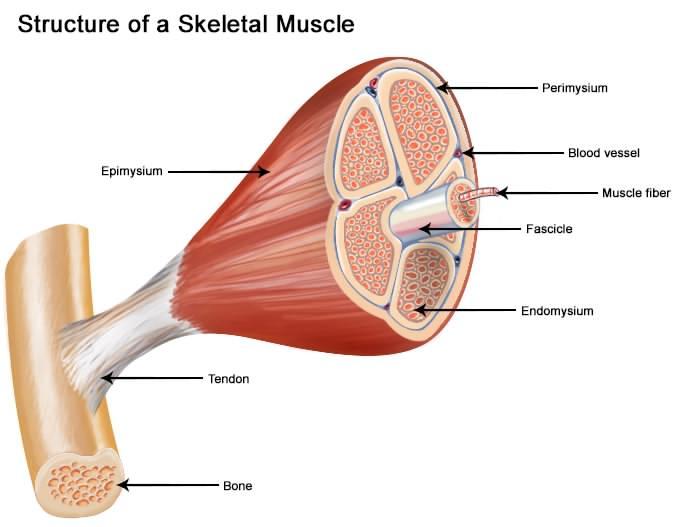 آیا با ایکس بادی میتوان عضله سازی کرد؟
